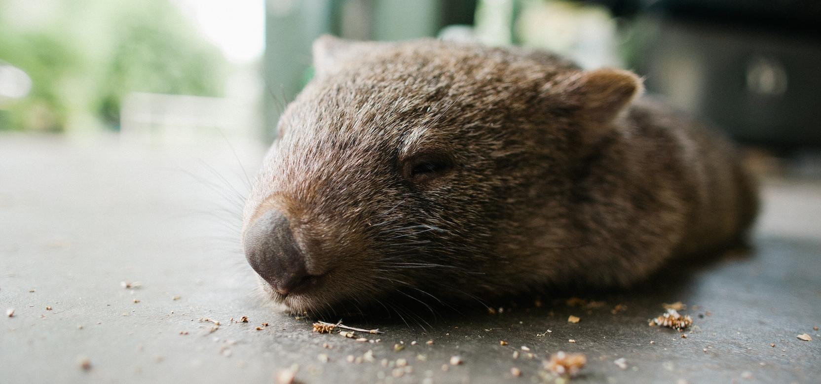 Douglas the wombat