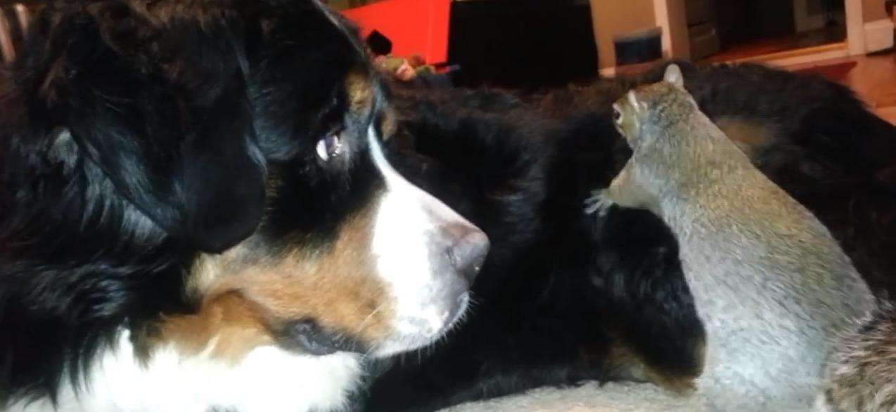 Eichhörnchen versteckt Nüsse im Fell eines Bernersennen Hundes