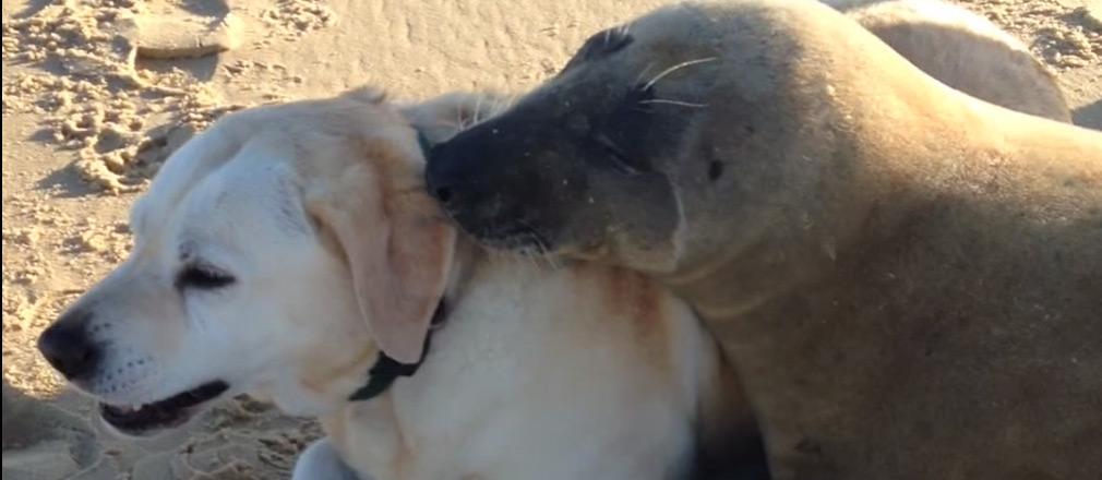 seerobbenhund